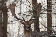 Einzelne Damhirsche Daniel With Gorgeous Horns Standing in belorussischen Forest Under First Snow Falling Rotwild entspannt und B lizenzfreie stockbilder