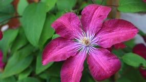 Einzelne dunkelrote Blume Lizenzfreie Stockfotos