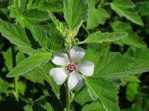 Einzelne Eibisch-Blume unter den weichen grünen Blättern der Eibisch-Anlage stockfotografie