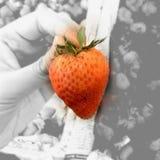 Einzelne Erdbeere Stockfoto