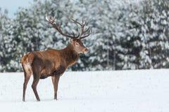 Einzelne erwachsene edle Rotwild mit großen schönen Hörnern mit Schnee nahe Winterwaldeuropäischen wild lebenden Tieren gestalten lizenzfreie stockfotografie