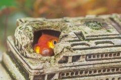 Einzelne Fische gewöhnlicher Carassius Auratus zuhause bekannt als goldene Fische im persönlichen Aquarium stockbild