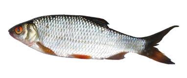 Einzelne Flussfische Lizenzfreie Stockbilder