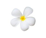 Einzelne Frangipaniblume Lizenzfreies Stockbild