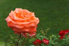 Einzelne frische Orange stieg auf einen Busch Stockfotografie