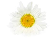 Einzelne Gänseblümchenblume Stockfotos