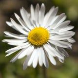 Einzelne Gänseblümchenblume Lizenzfreies Stockfoto