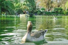 Einzelne Gansschwimmen im Teich in Ciutadella-Park, Barcelona, Spanien stockfotos