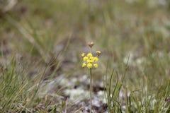 Einzelne gelbe Blume aus den Grund Stockfotografie