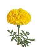 Einzelne gelbe Blume einer Ringelblume lokalisiert Lizenzfreie Stockbilder