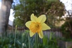 Einzelne gelbe Narzisse, die im Garten im Frühjahr wächst stockbild