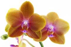 Einzelne gelbe Orchidee mit purpurrotem Punkt lizenzfreie stockbilder
