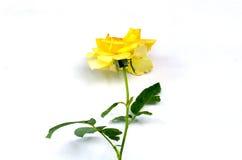 Einzelne gelbe Rose Stockbilder