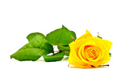 Einzelne gelbe Rose auf weißem Hintergrund Lizenzfreie Stockfotografie