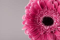 Einzelne Gerberagänseblümchen-Köpfchennahaufnahme Frühlingsgrußkarte für Mutter- oder Frauentag Makro Stockfotografie