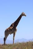 Einzelne Giraffe Stockfotografie