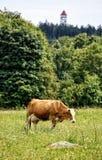 Einzelne große Kuhstellung im Gras stockfoto