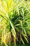 Einzelne Gruppe des dekorativen Grases Lizenzfreies Stockbild