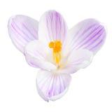 Einzelne helle lila Krokusfrühlingsblume lokalisiert Stockfotografie