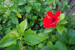 Einzelne Hibiscus-Blumen-Blüte Lizenzfreie Stockfotografie