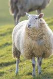Einzelne hintergrundbeleuchtete Schafe, die in Richtung zur Kamera anstarren Lizenzfreie Stockfotografie