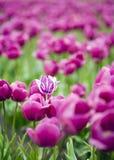 Einzelne hybride Tulpe innerhalb des Feldes der purpurroten Blumen Stockfotos