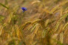 Einzelne Kornblume unter reifem Getreide auf Feld Stockfotografie