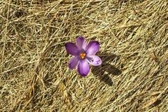 Einzelne Krokusblume des Frühlinges Stockfotos