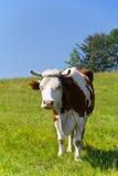 Einzelne Kuh auf der Kette, die auf grüner Wiese auf Hintergrund des blauen Himmels steht Lizenzfreie Stockfotos
