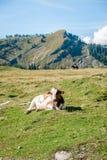 Einzelne Kuh in den Alpen Stockfotografie