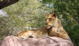 Einzelne Löwin auf Felsen Stockfoto