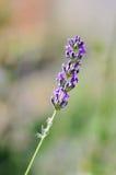 Einzelne Lavendelblume stockbild