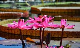 Einzelne Lilien-Auflage auf einem Teich lizenzfreie stockbilder
