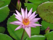 Einzelne malvenfarbene Wasserlilie Lizenzfreies Stockbild