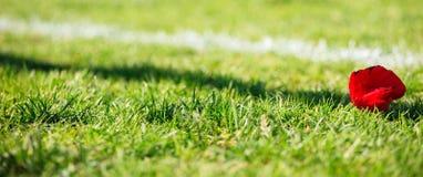 Einzelne Mohnblume auf dem Gras Lizenzfreie Stockfotos