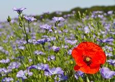 Einzelne Mohnblume auf einem Gebiet des blauen Leinsamens blüht Stockfotos
