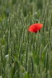 Einzelne Mohnblume auf einem Gebiet des Weizens Lizenzfreie Stockfotografie