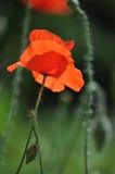 Einzelne Mohnblumenblume Stockfoto