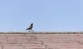 Einzelne Myna Bird auf einer alten Dachspitze lizenzfreie stockbilder
