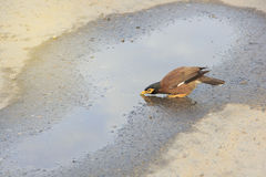 Einzelne mynas Trinkwasser in der Pfütze auf Straße Stockfoto