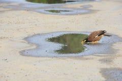 Einzelne mynas Trinkwasser in der Pfütze auf Straße Stockbilder