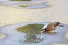 Einzelne mynas Trinkwasser in der Pfütze auf Straße Lizenzfreies Stockbild
