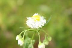 Einzelne Nahaufnahme der weißen Blume Lizenzfreie Stockfotos