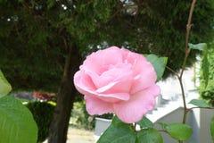 Einzelne Nahaufnahmerosa-Rosenblume stockbild