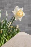 Einzelne Narzisse gegen Granitwand Stockfotografie