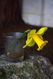 Einzelne Narzissenblume in einem Glas Stockfotos