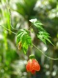 Einzelne orange Abutilonblume, die vom Baum hängt Lizenzfreie Stockfotos