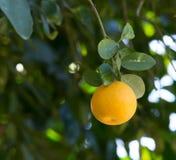 Einzelne Orange bereiten vor, um auszuwählen stockbild