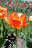 Einzelne orange Tulpe Stockbilder