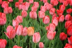 Einzelne orange Tulpe unter Purpur Stockfoto